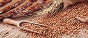 земеделие ЗК Луда Камчия - ЗК ЛУДА КАМЧИЯ, Цонево, зърнопроизводство, пшеница, ечемик , слънчоглед